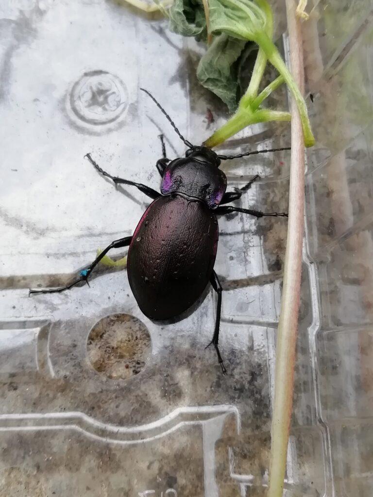 bronze ground beetle